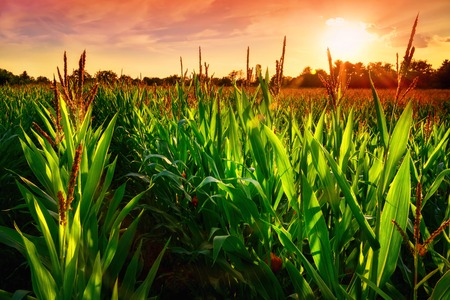 Foto de Rows of fresh corn plants on a field with beautiful warm sunset light and vibrant colors - Imagen libre de derechos