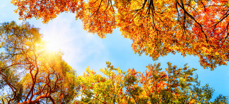 Photo pour The warm autumn sun shining through golden treetops, with beautiful bright blue sky - image libre de droit