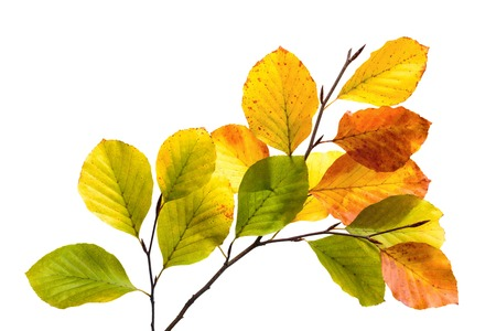 Photo for Twigs with colorful leaves of a beech tree,  studio isolated on pure white - Royalty Free Image