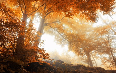 Photo for Beech trees in a scenic misty forest in autumn, with soft light and warm vibrant colors - Royalty Free Image