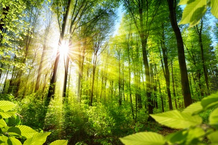 Photo pour Scenic forest of fresh green deciduous trees framed by leaves, with the sun casting its warm rays through the foliage - image libre de droit