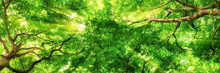 Photo for Sunrays shining through green leaves of high treetops in a beech forest, panorama format - Royalty Free Image