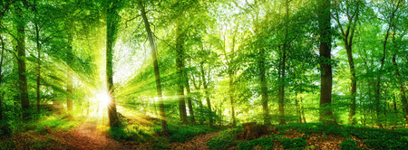 Photo for Beech forest panorama and the sun, with bright rays of light beautifully shining through the trees - Royalty Free Image