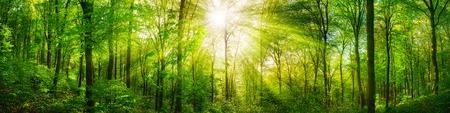Photo for Panorama of a scenic forest of fresh green deciduous trees with the sun casting its rays of light through the foliage - Royalty Free Image