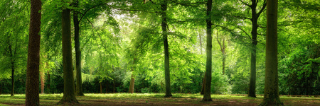 Photo for Fresh green trees in a beech forest with dreamy soft light, panorama format - Royalty Free Image