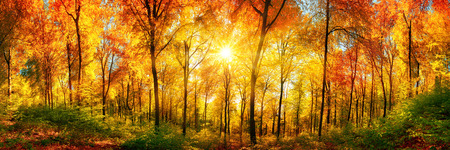 Photo pour Autumn scenery in panorama format: a forest in vibrant warm colors with the sun shining through the leaves - image libre de droit
