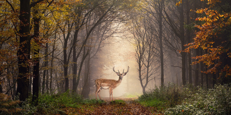 Photo pour Fallow deer standing in a dreamy misty forest, with beautiful moody light in the middle and framed by darker trees - image libre de droit
