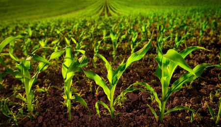 Photo for Corn field with young plants on fertile soil, a closeup with vibrant green on dark brown - Royalty Free Image