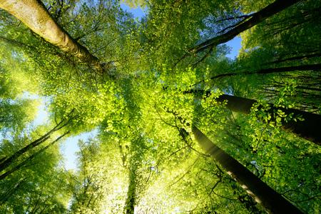 Photo for Rays of sunlight falling through a tree canopy create an enchanting atmosphere in a fresh green forest - Royalty Free Image