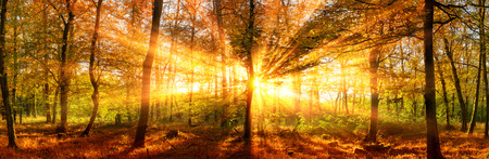 Photo for Autumn forest panoramic landscape shot with vivid gold sunrays falling through the trees - Royalty Free Image