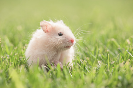Photo for white hamster on lawn closeup - Royalty Free Image