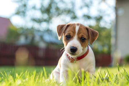 Photo pour jack russel puppy on green lawn - image libre de droit