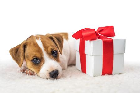 Photo pour jack russel puppy with giftbox - image libre de droit