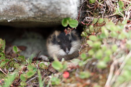 Photo for Small norwegian lemming - Royalty Free Image