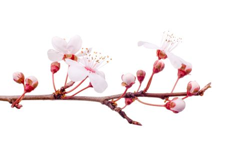 plum-tree spring blossom isolated on white