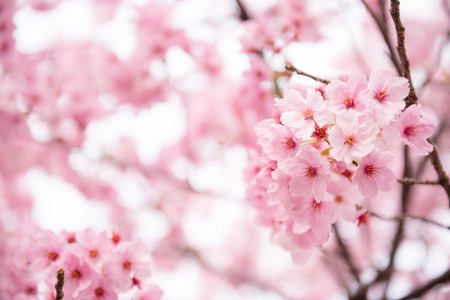 Photo for Beautiful pink cherry blossom  Sakura  flower at full bloom in Japan - Royalty Free Image