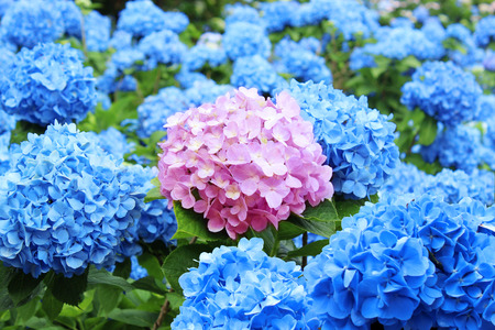 Photo for Hydrangea flowers - Royalty Free Image