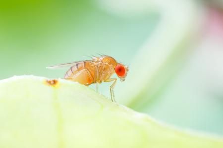 Photo pour Close up new born fruit fly in studio - image libre de droit
