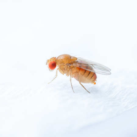 Foto de Close up new born fruit fly in studio - Imagen libre de derechos