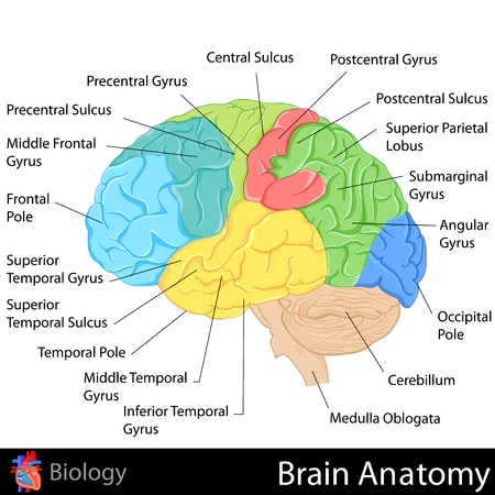 Illustration pour Brain Anatomy - image libre de droit
