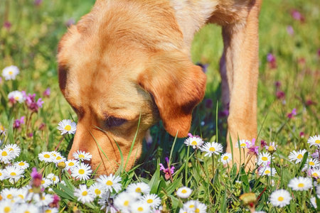 Foto de Dog Sniffing Chamomiles FLowers on the Field - Imagen libre de derechos