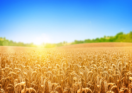 Foto de A wheat field, fresh crop of wheat. - Imagen libre de derechos
