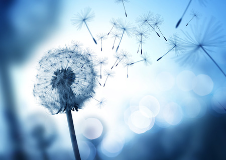 Photo pour Dandelion seeds blowing in the wind across a cool field background, conceptual image meaning change, growth, movement and direction. - image libre de droit