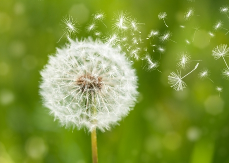 Photo for dandelion with flying seeds - Royalty Free Image