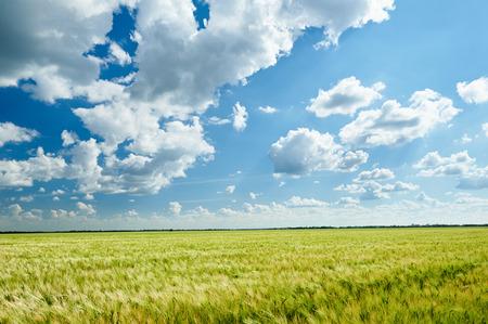 Photo pour wheat field and blue sky summer landscape - image libre de droit