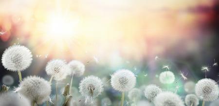 Foto de field of dandelion in sunset - bokeh and allergy - Imagen libre de derechos