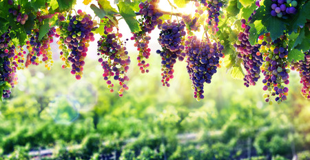 Photo for Viticulture The Sun That Ripens The Grapes - Royalty Free Image