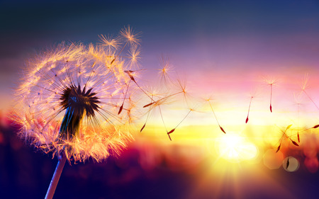Photo pour Dandelion To Sunset - Freedom to Wish - image libre de droit