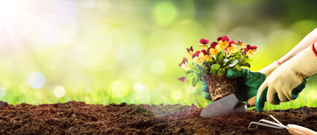 Photo for Gardening - Planting Pansy In A Sunny Garden - Royalty Free Image
