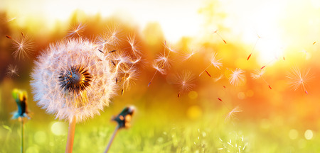 Photo pour Dandelion In Field At Sunset - Freedom to Wish - image libre de droit