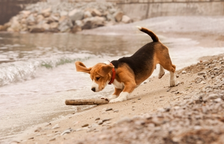 Beagle puppy playing with the stick st the sea side