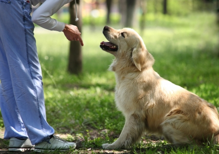 Photo for Golden Retriever outdoor training process - Royalty Free Image