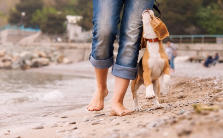 Puppy beagle running near it owner legs  Close up image