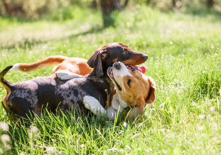 Photo pour Dachshund and beagle playing together in grass - image libre de droit