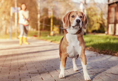 Photo pour Beagle walk on long lead at the autumn park - image libre de droit