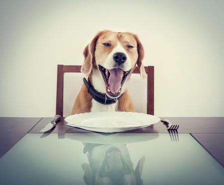 Photo pour Yawning beagle dog tired to wait waiter - image libre de droit