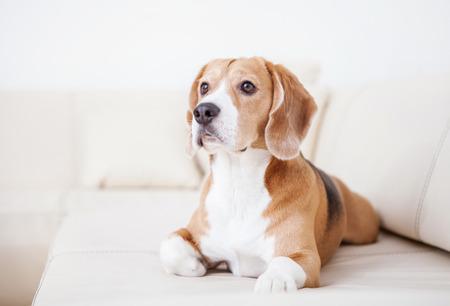 Foto de Purebred beagle dog lying on white sofa in luxury Hotel room - Imagen libre de derechos