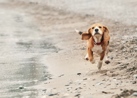 Photo for Beagle puppy running on the sea beach - Royalty Free Image
