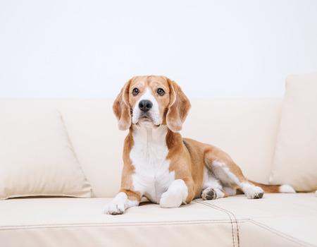 Photo pour Purebred beagle lying on sofa - image libre de droit