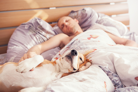 Photo pour Beagle dog sleep with his owner in bed - image libre de droit