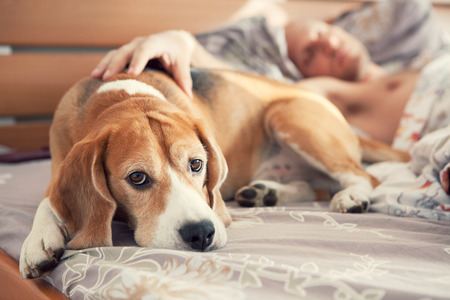 Photo pour Beagle lying in bed with his sleeping owner - image libre de droit