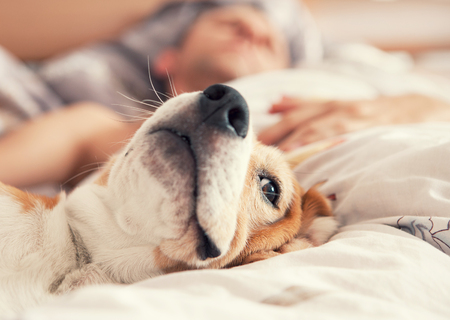 Photo pour Lazy beagle lying in bed with his sleeping owner - image libre de droit