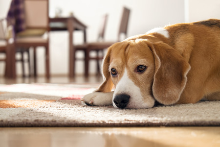Foto de Beagle dog lying on carpet in cozy home - Imagen libre de derechos