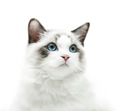Photo for White kitten with blue eyes portrait - Royalty Free Image