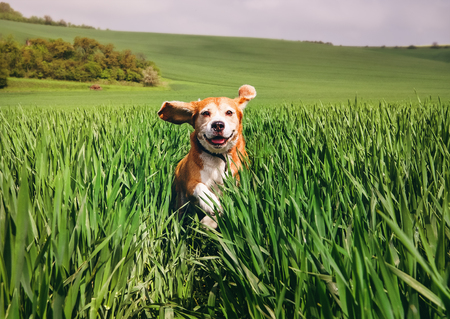Foto de Beagle dog runs in high wet grass - Imagen libre de derechos