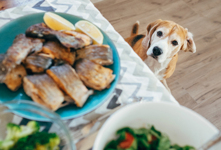 Photo for Hungry beagle looks on dinner table with served meal - Royalty Free Image